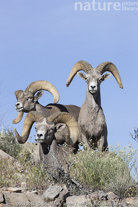 Desert Bighorn Sheep (Ovis canadensis nelsoni) rams, southern Nevada  ,  Adult, Color Image, Day, Desert Bighorn Sheep, Front View, Full Length, Looking at Camera, Male, Nevada, Nobody, Outdoors, Ovis canadensis nelsoni, Photography, Ram, Side View, Three Animals, Vertical, Wildlife,Desert Bighorn Sheep,Nevada, USA  ,  Donald M. Jones