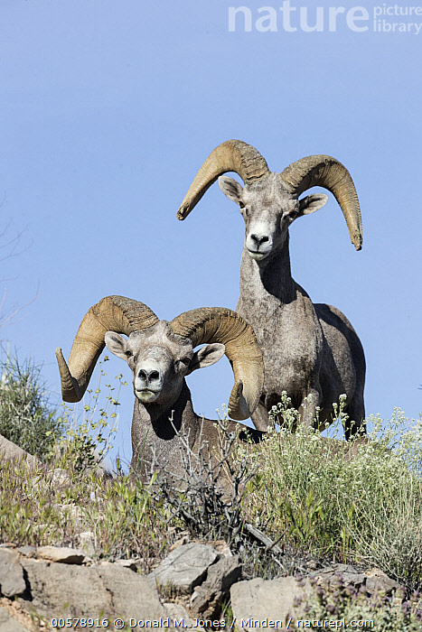 Desert Bighorn Sheep (Ovis canadensis nelsoni) rams, southern Nevada  ,  Adult, Color Image, Day, Desert Bighorn Sheep, Front View, Full Length, Looking at Camera, Male, Nevada, Nobody, Outdoors, Ovis canadensis nelsoni, Photography, Ram, Two Animals, Vertical, Wildlife,Desert Bighorn Sheep,Nevada, USA  ,  Donald M. Jones
