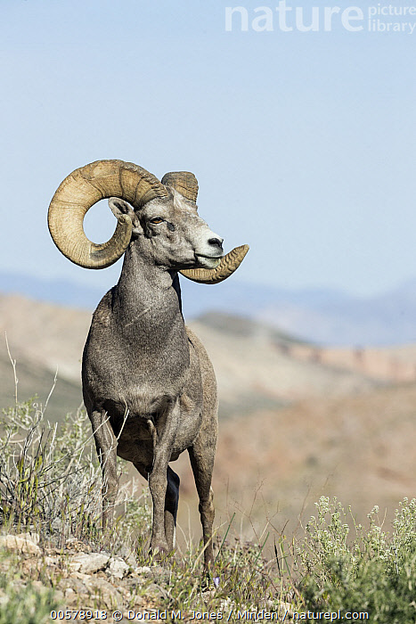 Desert Bighorn Sheep (Ovis canadensis nelsoni) ram, southern Nevada  ,  Adult, Color Image, Day, Desert Bighorn Sheep, Front View, Full Length, Male, Nevada, Nobody, One Animal, Outdoors, Ovis canadensis nelsoni, Photography, Ram, Vertical, Wildlife,Desert Bighorn Sheep,Nevada, USA  ,  Donald M. Jones