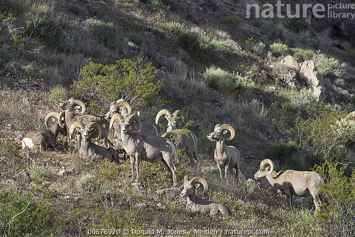 Desert Bighorn Sheep (Ovis canadensis nelsoni) rams, southern Nevada  ,  Adult, Color Image, Day, Desert Bighorn Sheep, Front View, Full Length, Herd, Horizontal, Looking at Camera, Male, Medium Group of Animals, Nevada, Nobody, Outdoors, Ovis canadensis nelsoni, Photography, Ram, Side View, Wildlife,Desert Bighorn Sheep,Nevada, USA  ,  Donald M. Jones