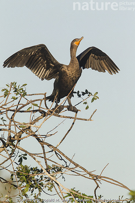 Double-crested Cormorant (Phalacrocorax auritus) drying wings, central Florida, Adult, Color Image, Day, Double-crested Cormorant, Drying, Florida, Full Length, Low Angle View, Nobody, One Animal, Outdoors, Phalacrocorax auritus, Photography, Side View, Spreading Wings, Vertical, Water Bird, Wildlife,Double-crested Cormorant,Florida, USA, Donald M. Jones