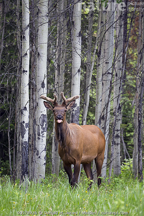 Elk (Cervus elaphus) bull in forest with tongue sticking out, western Canada  ,  Adult, Animal in Habitat, Bull, Canada, Cervus elaphus, Color Image, Day, Elk, Forest, Front View, Full Length, Funny, Humor, Looking at Camera, Male, Nobody, One Animal, Outdoors, Photography, Tongue, Vertical, Wildlife,Elk,Canada  ,  Donald M. Jones