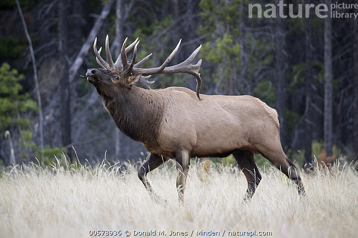 Elk (Cervus elaphus) bull displaying, western Canada  ,  Adult, Bull, Canada, Cervus elaphus, Color Image, Day, Displaying, Elk, Full Length, Horizontal, Male, Nobody, One Animal, Outdoors, Photography, Side View, Wildlife,Elk,Canada  ,  Donald M. Jones