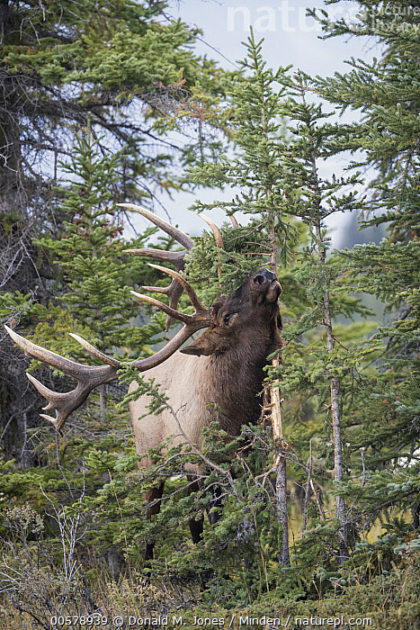 Elk (Cervus elaphus) bull rubbing tree during rut, North America, Adult, Bull, Cervus elaphus, Color Image, Day, Elk, Front View, Full Length, Male, Marking, Nobody, North America, One Animal, Outdoors, Photography, Rubbing, Rut, Vertical, Wildlife,Elk,North America, Donald M. Jones