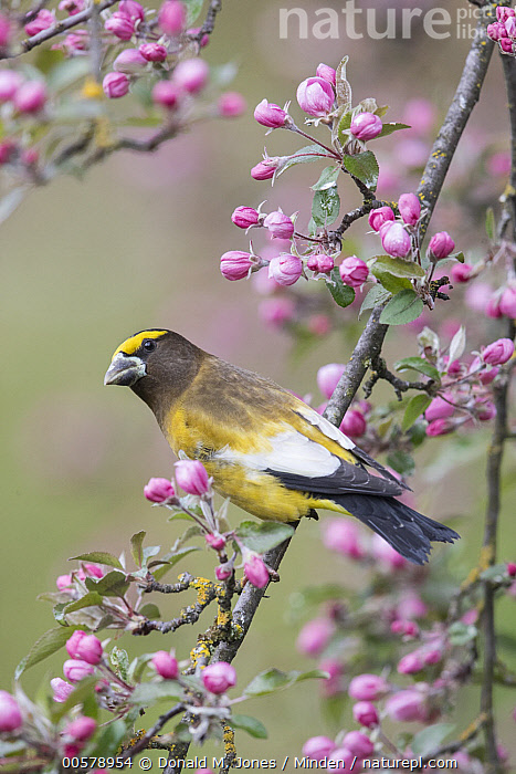Evening Grosbeak (Coccothraustes vespertina) male in flowering tree, Troy, Montana  ,  Adult, Coccothraustes vespertina, Color Image, Day, Evening Grosbeak, Flowering, Full Length, Male, Montana, Nobody, One Animal, Outdoors, Photography, Side View, Songbird, Troy, Vertical, Wildlife,Evening Grosbeak,Montana, USA  ,  Donald M. Jones
