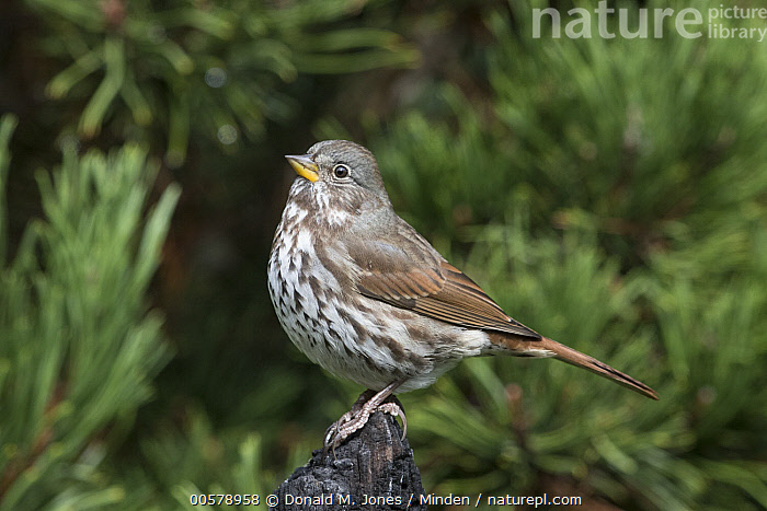 Fox Sparrow (Passerella iliaca), Troy, Montana, Adult, Color Image, Day, Fox Sparrow, Full Length, Horizontal, Montana, Nobody, One Animal, Outdoors, Passerella iliaca, Photography, Side View, Songbird, Troy, Wildlife,Fox Sparrow,Montana, USA, Donald M. Jones