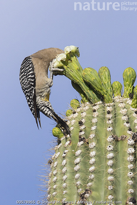 Gila Woodpecker (Melanerpes uropygialis) feeding on cactus flower nectar, southwestern Arizona. Sequence 1 of 2  ,  Adult, Arizona, Cactus, Color Image, Day, Feeding, Flower, Full Length, Gila Woodpecker, Melanerpes uropygialis, Nectar, Nobody, One Animal, Outdoors, Photography, Sequence, Side View, Vertical, Wildlife,Gila Woodpecker,Arizona, USA  ,  Donald M. Jones