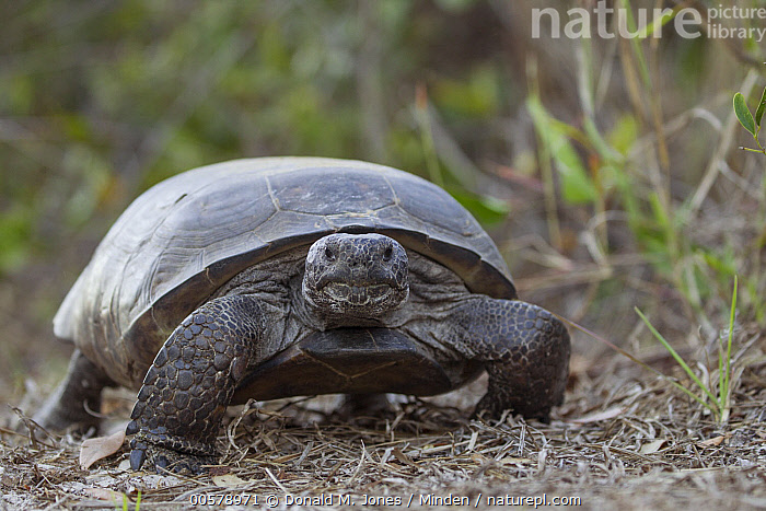 Florida Gopher Tortoise (Gopherus polyphemus, southern Florida, Adult, Color Image, Day, Florida Gopher Tortoise, Florida, Front View, Full Length, Gopherus polyphemus, Horizontal, Looking at Camera, Nobody, One Animal, Outdoors, Photography, Threatened Species, Vulnerable Species, Wildlife,Florida Gopher Tortoise,Florida, USA, Donald M. Jones