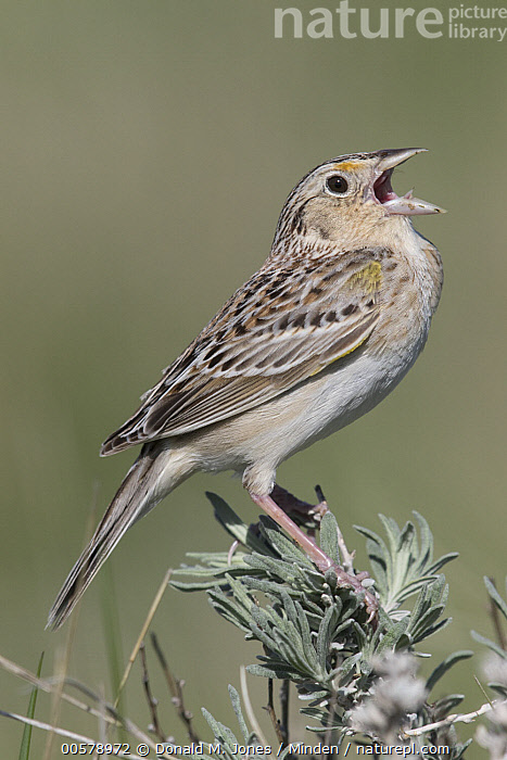 Grasshopper Sparrow (Ammodramus savannarum) calling, Montana, Adult, Ammodramus savannarum, Calling, Color Image, Day, Full Length, Grasshopper Sparrow, Montana, Nobody, One Animal, Open Mouth, Outdoors, Photography, Side View, Singing, Songbird, Vertical, Wildlife,Grasshopper Sparrow,Montana, USA, Donald M. Jones