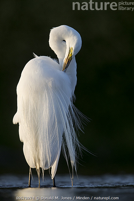 Great Egret (Ardea alba) in breeding plumage, preening, central Florida  ,  Adult, Ardea alba, Breeding Plumage, Cleaning, Color Image, Day, Florida, Full Length, Great Egret, Nobody, One Animal, Outdoors, Photography, Preening, Side View, Vertical, Wading Bird, Wildlife,Great Egret,Florida, USA  ,  Donald M. Jones