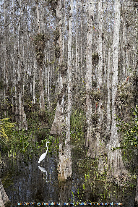 Great Egret (Ardea alba) in swamp, Big Cypress National Preserve, Florida  ,  Adult, Animal in Habitat, Ardea alba, Big Cypress National Preserve, Color Image, Day, Florida, Forest, Full Length, Great Egret, Interior, Nobody, One Animal, Outdoors, Photography, Reflection, Side View, Swamp, Vertical, Wading Bird, Wildlife,Great Egret,Florida, USA  ,  Donald M. Jones