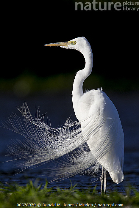 Great Egret (Ardea alba) in breeding plumage, central Florida  ,  Adult, Ardea alba, Breeding Plumage, Color Image, Day, Florida, Full Length, Great Egret, Nobody, One Animal, Outdoors, Photography, Side View, Vertical, Wading Bird, Wildlife, Wind,Great Egret,Florida, USA  ,  Donald M. Jones
