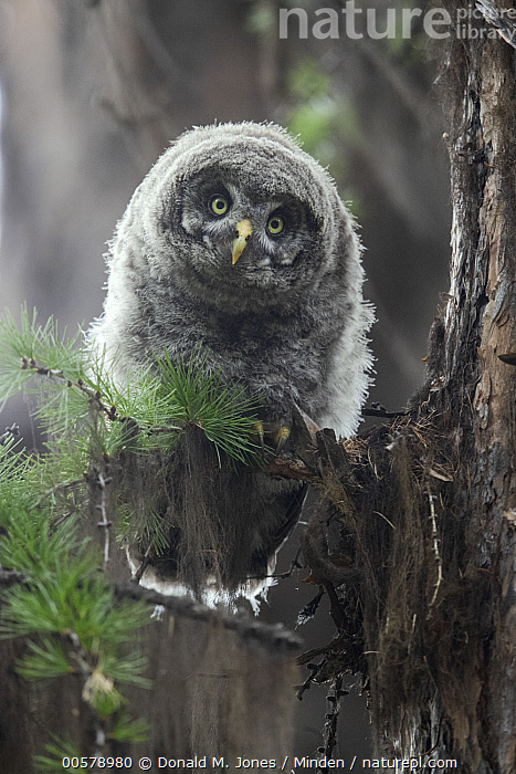 Great Gray Owl (Strix nebulosa) owlet, Yaak, Montana, Baby, Chick, Color Image, Cute, Day, Front View, Full Length, Great Gray Owl, Looking at Camera, Montana, Nobody, One Animal, Outdoors, Owlet, Photography, Raptor, Strix nebulosa, Vertical, Wildlife, Yaak,Great Gray Owl,Montana, USA, Donald M. Jones