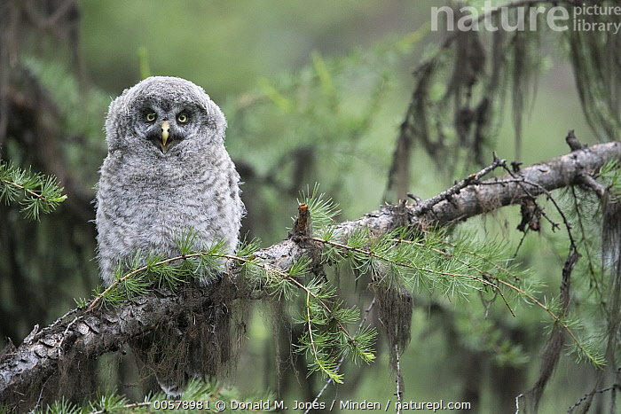 Great Gray Owl (Strix nebulosa) owlet calling, Yaak, Montana  ,  Baby, Calling, Chick, Color Image, Cute, Day, Front View, Full Length, Great Gray Owl, Horizontal, Looking at Camera, Montana, Nobody, One Animal, Open Mouth, Outdoors, Owlet, Photography, Raptor, Strix nebulosa, Wildlife, Yaak,Great Gray Owl,Montana, USA  ,  Donald M. Jones