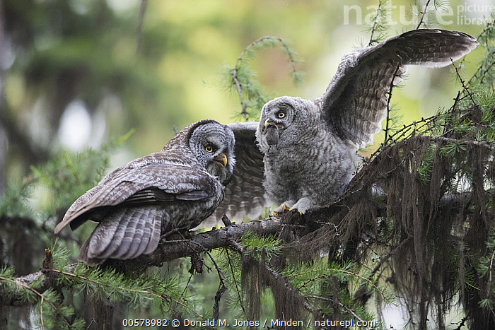 Great Gray Owl (Strix nebulosa) parent feeding owlet vole, Yaak, Montana  ,  Adult, Baby, Chick, Color Image, Day, Feeding, Full Length, Great Gray Owl, Horizontal, Low Angle View, Montana, Nobody, Outdoors, Owlet, Parent, Parenting, Photography, Predator, Prey, Raptor, Side View, Spreading Wings, Strix nebulosa, Two Animals, Vole, Wildlife, Yaak,Great Gray Owl,Montana, USA  ,  Donald M. Jones