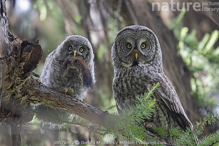 Great Gray Owl (Strix nebulosa) parent feeding owlet squirrel, Yaak, Montana  ,  Adult, Baby, Chick, Color Image, Day, Feeding, Front View, Full Length, Great Gray Owl, Horizontal, Looking at Camera, Montana, Nobody, Outdoors, Owlet, Parent, Parenting, Photography, Predator, Prey, Raptor, Side View, Squirrel, Strix nebulosa, Two Animals, Waist Up, Wildlife, Yaak,Great Gray Owl,Montana, USA  ,  Donald M. Jones