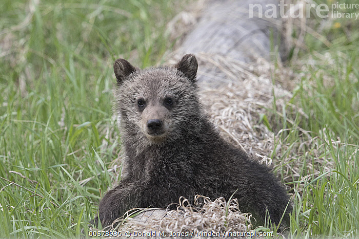 Brown Bear (Ursus arctos) cub, western Canada  ,  Baby, Brown Bear, Canada, Color Image, Cub, Day, Full Length, Horizontal, Looking at Camera, Nobody, One Animal, Outdoors, Photography, Side View, Ursus arctos, Wildlife,Brown Bear,Canada  ,  Donald M. Jones
