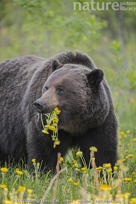 Brown Bear (Ursus arctos) feeding on dandelions, western Canada, Adult, Brown Bear, Canada, Color Image, Dandelion, Day, Feeding, Flower, Nobody, One Animal, Outdoors, Photography, Side View, Ursus arctos, Vertical, Waist Up, Wildlife,Brown Bear,Canada, Donald M. Jones
