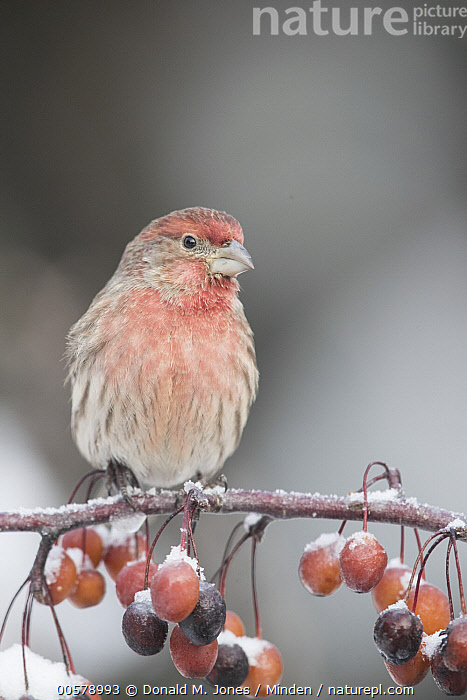House Finch (Carpodacus mexicanus) male, Troy, Montana, Adult, Carpodacus mexicanus, Color Image, Day, Front View, Full Length, House Finch, Male, Montana, Nobody, One Animal, Outdoors, Photography, Songbird, Troy, Vertical, Wildlife,House Finch,Montana, USA, Donald M. Jones