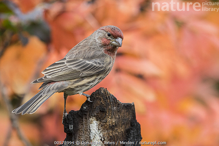 House Finch (Carpodacus mexicanus) male in autumn, Troy, Montana  ,  Adult, Autumn, Carpodacus mexicanus, Color Image, Day, Fall Colors, Full Length, Horizontal, House Finch, Male, Montana, Nobody, One Animal, Outdoors, Photography, Side View, Songbird, Troy, Wildlife,House Finch,Montana, USA  ,  Donald M. Jones