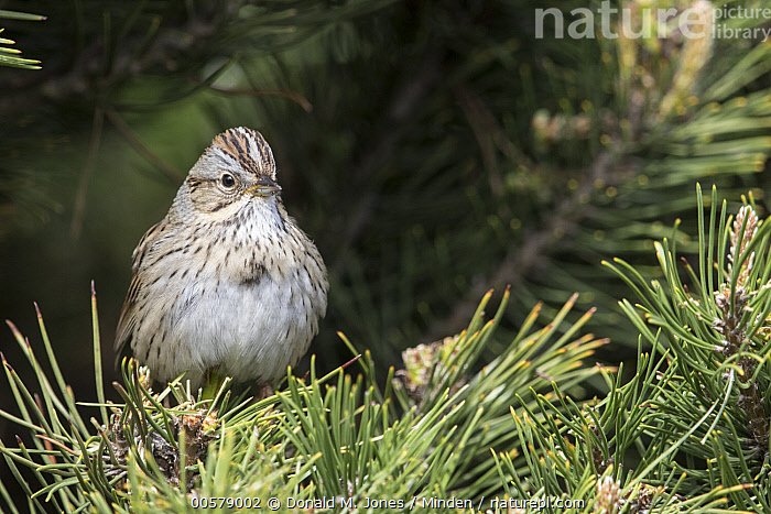 Lincoln's Sparrow (Melospiza lincolnii), Troy, Montana  ,  Adult, Color Image, Day, Front View, Full Length, Horizontal, Lincoln's Sparrow, Melospiza lincolnii, Montana, Nobody, One Animal, Outdoors, Photography, Songbird, Troy, Wildlife,Lincoln's Sparrow,Montana, USA  ,  Donald M. Jones