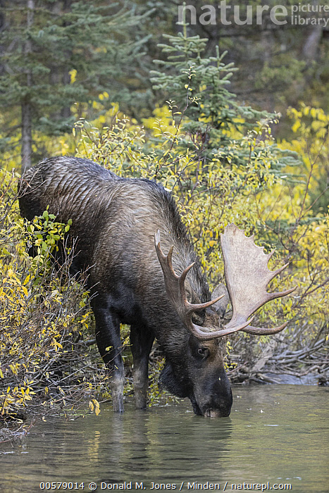 Moose (Alces alces) bull drinking, western Canada  ,  Adult, Alces alces, Bull, Canada, Color Image, Day, Drinking, Full Length, Male, Moose, Nobody, One Animal, Outdoors, Photography, Side View, Vertical, Wildlife,Moose,Canada  ,  Donald M. Jones