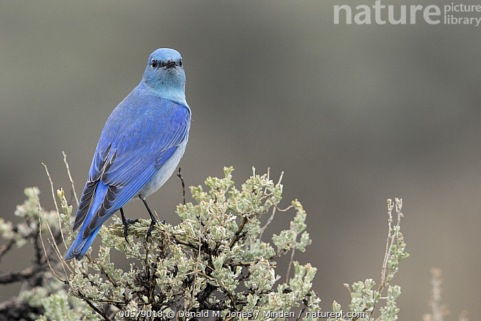 Mountain Bluebird (Sialia currucoides) male, southwestern Montana, Adult, Color Image, Day, Full Length, Horizontal, Looking at Camera, Looking Back, Male, Montana, Mountain Bluebird, Nobody, One Animal, Outdoors, Photography, Rear View, Sialia currucoides, Songbird, Wildlife,Mountain Bluebird,Montana, USA, Donald M. Jones