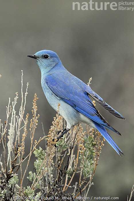 Mountain Bluebird (Sialia currucoides) male, southwestern Montana  ,  Adult, Color Image, Day, Full Length, Male, Montana, Mountain Bluebird, Nobody, One Animal, Outdoors, Photography, Sialia currucoides, Side View, Songbird, Vertical, Wildlife,Mountain Bluebird,Montana, USA  ,  Donald M. Jones