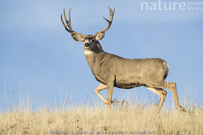 Mule Deer (Odocoileus hemionus) buck, western Montana  ,  Adult, Buck, Color Image, Day, Full Length, Horizontal, Looking at Camera, Male, Montana, Mule Deer, Nobody, Odocoileus hemionus, One Animal, Outdoors, Photography, Side View, Wildlife,Mule Deer,Montana, USA  ,  Donald M. Jones