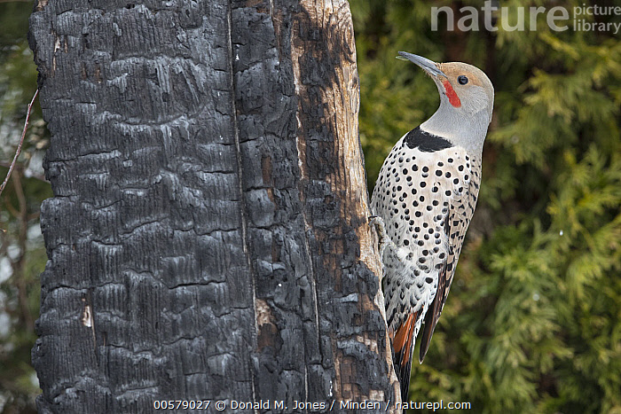 Northern Flicker (Colaptes auratus) male on tree trunk with burn scar, Troy, Montana  ,  Adult, Burnt, Colaptes auratus, Color Image, Day, Full Length, Horizontal, Male, Montana, Nobody, Northern Flicker, One Animal, Outdoors, Photography, Scar, Side View, Troy, Wildlife, Woodpecker,Northern Flicker,Montana, USA  ,  Donald M. Jones