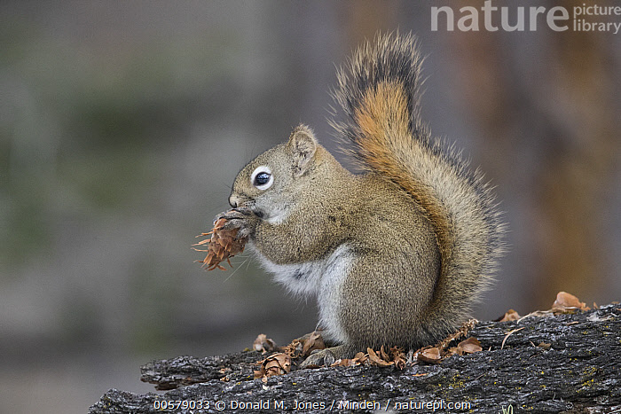 Red Squirrel (Tamiasciurus hudsonicus) feeding on pine cone, western Montana  ,  Adult, Color Image, Day, Feeding, Full Length, Horizontal, Montana, Nobody, One Animal, Outdoors, Photography, Pine Cone, Red Squirrel, Side View, Tamiasciurus hudsonicus, Wildlife,Red Squirrel,Montana, USA  ,  Donald M. Jones