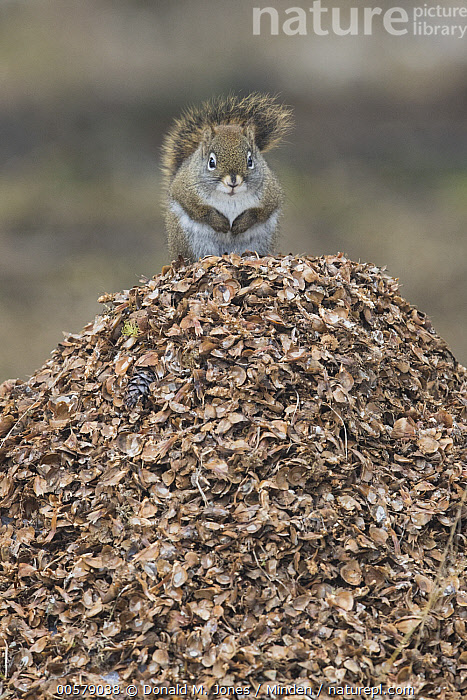 Red Squirrel (Tamiasciurus hudsonicus) on pine cone flakes, western Montana  ,  Adult, Color Image, Cute, Day, Front View, Full Length, Funny, Humor, Looking at Camera, Montana, Nobody, One Animal, Outdoors, Photography, Pine Cone, Red Squirrel, Tamiasciurus hudsonicus, Vertical, Wildlife,Red Squirrel,Montana, USA  ,  Donald M. Jones