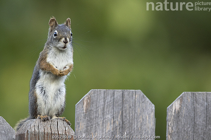 Red Squirrel (Tamiasciurus hudsonicus) on backyard fence, western Montana  ,  Adult, Alert, Backyard, Color Image, Day, Fence, Front View, Full Length, Horizontal, Looking at Camera, Montana, Nobody, One Animal, Outdoors, Photography, Red Squirrel, Standing, Tamiasciurus hudsonicus, Wildlife,Red Squirrel,Montana, USA  ,  Donald M. Jones