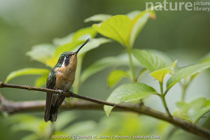 Purple-throated Mountain-gem (Lampornis calolaemus) female, Costa Rica  ,  Adult, Color Image, Costa Rica, Day, Female, Front View, Full Length, Horizontal, Hummingbird, Lampornis calolaemus, Nobody, One Animal, Outdoors, Photography, Purple-throated Mountain-gem, Wildlife,Purple-throated Mountain-gem,Costa Rica  ,  Donald M. Jones