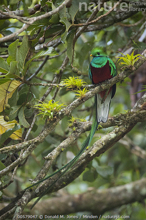 Resplendent Quetzal (Pharomachrus mocinno) male, Costa Rica, Adult, Color Image, Costa Rica, Day, Front View, Full Length, Male, Nobody, One Animal, Outdoors, Pharomachrus mocinno, Photography, Resplendent Quetzal, Vertical, Wildlife,Resplendent Quetzal,Costa Rica, Donald M. Jones