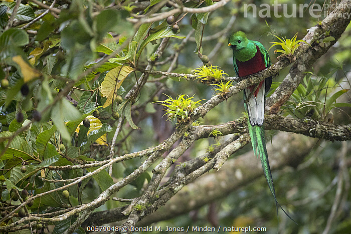 Resplendent Quetzal (Pharomachrus mocinno) male, Costa Rica  ,  Adult, Color Image, Costa Rica, Day, Front View, Full Length, Horizontal, Male, Nobody, One Animal, Outdoors, Pharomachrus mocinno, Photography, Resplendent Quetzal, Wildlife,Resplendent Quetzal,Costa Rica  ,  Donald M. Jones
