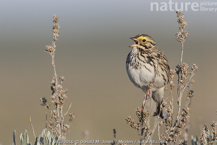 Savannah Sparrow (Passerculus sandwichensis) calling, Montana  ,  Adult, Calling, Color Image, Day, Full Length, Horizontal, Montana, Nobody, One Animal, Open Mouth, Outdoors, Passerculus sandwichensis, Photography, Savannah Sparrow, Side View, Singing, Songbird, Wildlife,Savannah Sparrow,Montana, USA  ,  Donald M. Jones