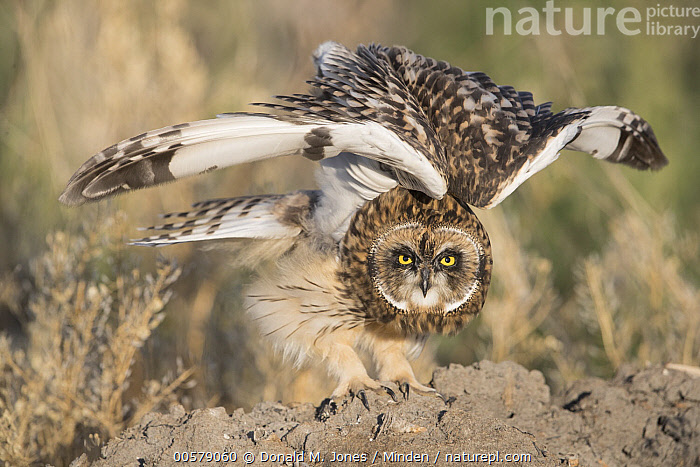 Short-eared Owl (Asio flammeus) stretching, Great Falls, Montana  ,  Adult, Asio flammeus, Color Image, Day, stretching, Full Length, Great Falls, Horizontal, Looking at Camera, Montana, Nobody, One Animal, Outdoors, Photography, Raptor, Short-eared Owl, Side View, Spreading Wings, Wildlife  ,  Donald M. Jones