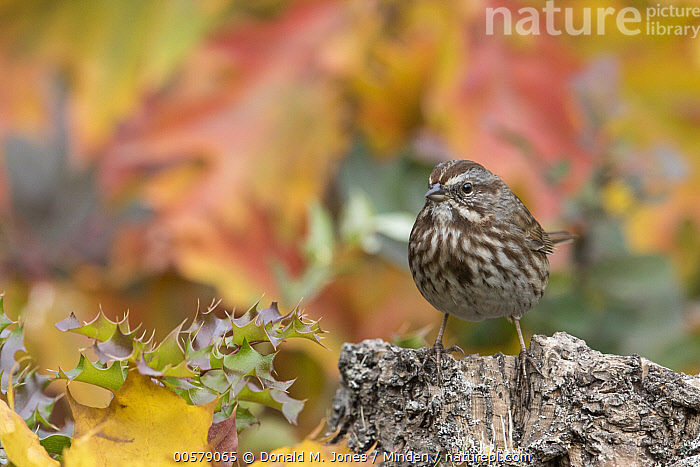 Song Sparrow (Melospiza melodia) in autumn, Troy, Montana  ,  Adult, Autumn, Color Image, Day, Fall Colors, Front View, Full Length, Horizontal, Melospiza melodia, Montana, Nobody, One Animal, Outdoors, Photography, Song Sparrow, Songbird, Troy, Wildlife,Song Sparrow,Montana, USA  ,  Donald M. Jones