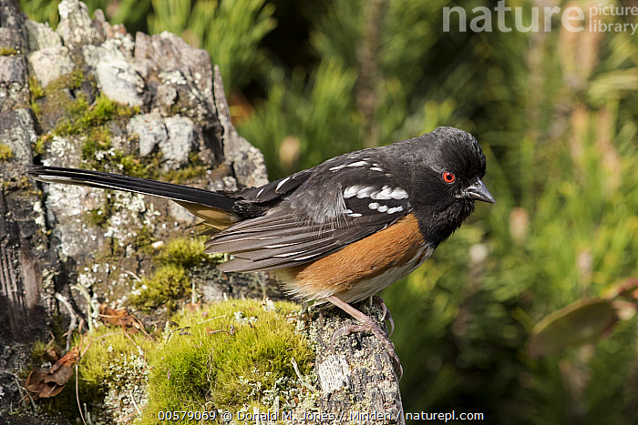 Spotted Towhee (Pipilo maculatus) male, Troy, Montana, Adult, Color Image, Day, Full Length, Horizontal, Male, Montana, Nobody, One Animal, Outdoors, Photography, Pipilo maculatus, Side View, Songbird, Spotted Towhee, Troy, Wildlife,Spotted Towhee,Montana, USA, Donald M. Jones