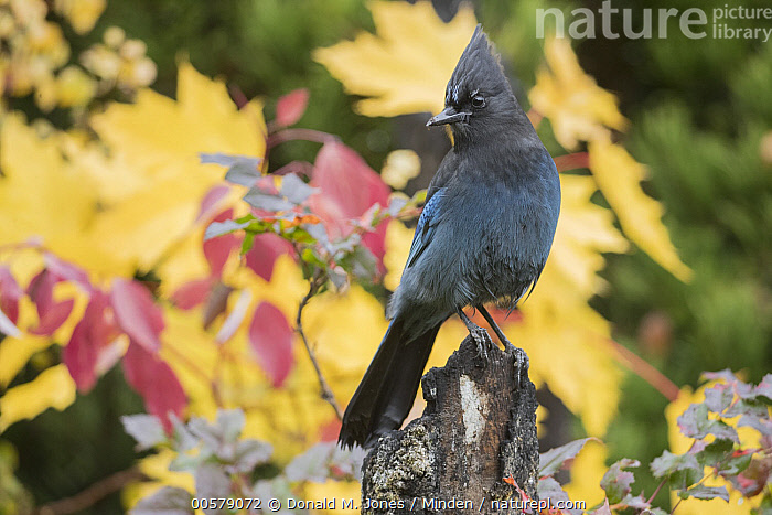 Steller's Jay (Cyanocitta stelleri) in autumn, Troy, Montana, Adult, Autumn, Color Image, Cyanocitta stelleri, Day, Fall Colors, Full Length, Horizontal, Montana, Nobody, One Animal, Outdoors, Photography, Side View, Songbird, Steller's Jay, Troy, Wildlife,Steller's Jay,Montana, USA, Donald M. Jones