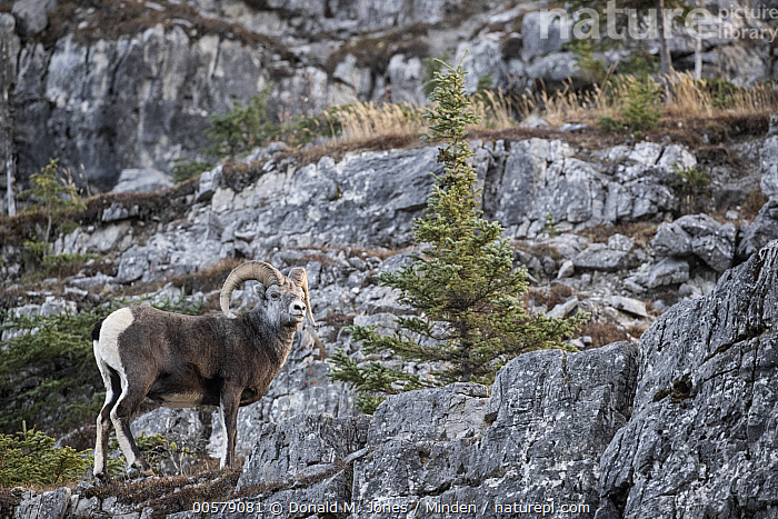 Stone Sheep (Ovis dalli stonei) sub-adult ram on cliff, British Columbia, Canada, Alpine, Animal in Habitat, British Columbia, Camouflage, Canada, Cliff, Color Image, Day, Full Length, Horizontal, Male, Nobody, One Animal, Outdoors, Ovis dalli stonei, Photography, Ram, Side View, Stone Sheep, Sub-Adult, Wildlife,Stone Sheep,Canada, Donald M. Jones