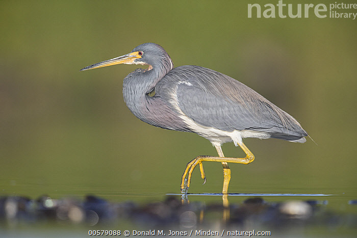 Tricolored Heron (Egretta tricolor) wading, central Florida  ,  Adult, Color Image, Day, Egretta tricolor, Florida, Full Length, Horizontal, Nobody, One Animal, Outdoors, Photography, Side View, Tricolored Heron, Wading, Wading Bird, Wildlife,Tricolored Heron,Florida, USA  ,  Donald M. Jones