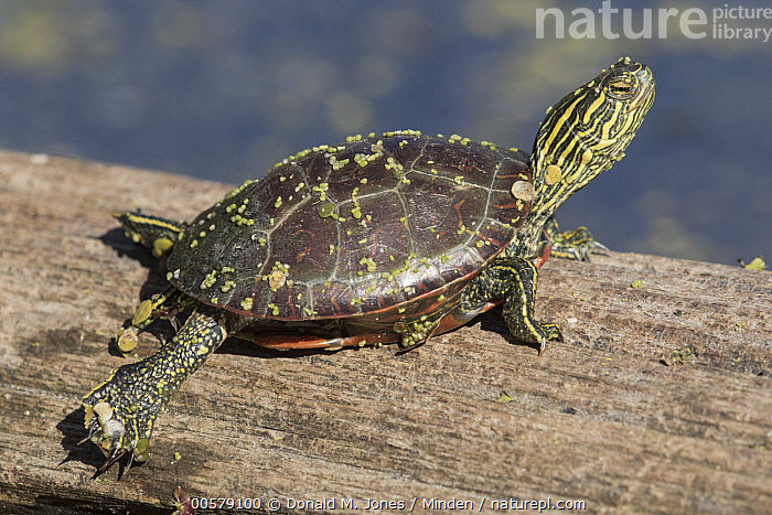 Painted Turtle (Chrysemys picta) baby on log, western Montana  ,  Baby, Chrysemys picta, Color Image, Day, Full Length, Horizontal, Montana, Nobody, One Animal, Outdoors, Painted Turtle, Photography, Side View, Sunning, Wildlife, Young,Painted Turtle,Montana, USA  ,  Donald M. Jones