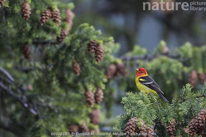 Western Tanager (Piranga ludoviciana) male, Troy, Montana  ,  Adult, Color Image, Day, Full Length, Horizontal, Male, Montana, Nobody, One Animal, Outdoors, Photography, Piranga ludoviciana, Side View, Songbird, Troy, Western Tanager, Wildlife,Western Tanager,Montana, USA  ,  Donald M. Jones