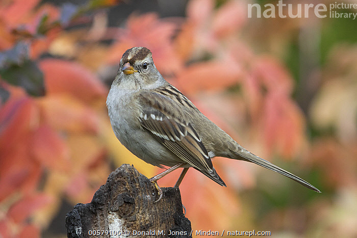 White-crowned Sparrow (Zonotrichia leucophrys) juvenile in autumn, Troy, Montana  ,  Autumn, Color Image, Day, Fall Colors, Full Length, Horizontal, Juvenile, Montana, Nobody, One Animal, Outdoors, Photography, Side View, Songbird, Troy, White-crowned Sparrow, Wildlife, Zonotrichia leucophrys,White-crowned Sparrow,Montana, USA  ,  Donald M. Jones
