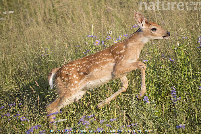 White-tailed Deer (Odocoileus virginianus) fawn running, western Montana  ,  Baby, Color Image, Day, Fawn, Full Length, Horizontal, Montana, Nobody, Odocoileus virginianus, One Animal, Outdoors, Photography, Running, Side View, White-tailed Deer, Wildlife,White-tailed Deer,Montana, USA  ,  Donald M. Jones