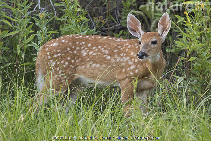 White-tailed Deer (Odocoileus virginianus) fawn, western Montana  ,  Baby, Color Image, Day, Fawn, Full Length, Horizontal, Montana, Nobody, Odocoileus virginianus, One Animal, Outdoors, Photography, Side View, White-tailed Deer, Wildlife,White-tailed Deer,Montana, USA  ,  Donald M. Jones