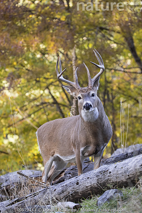 White-tailed Deer (Odocoileus virginianus) buck in autumn, western Montana  ,  Adult, Autumn, Buck, Color Image, Day, Fall Colors, Full Length, Looking at Camera, Male, Montana, Nobody, Odocoileus virginianus, One Animal, Outdoors, Photography, Side View, Vertical, White-tailed Deer, Wildlife,White-tailed Deer,Montana, USA  ,  Donald M. Jones