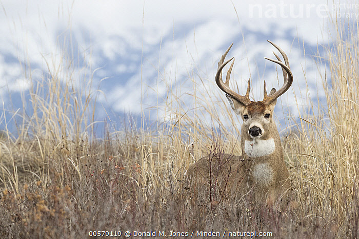 White-tailed Deer (Odocoileus virginianus) buck, western Montana, Adult, Buck, Color Image, Day, Front View, Full Length, Horizontal, Looking at Camera, Male, Montana, Nobody, Odocoileus virginianus, One Animal, Outdoors, Photography, White-tailed Deer, Wildlife,White-tailed Deer,Montana, USA, Donald M. Jones
